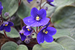 Hybrid Blue African Violet (Saintpaulia 'Hybrid Blue') at Green Haven Garden Centre