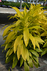 Limelight Dracaena (Dracaena fragrans 'Limelight') at Green Haven Garden Centre