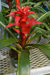 Brimstone Guzmania Bromeliad (Guzmania 'Brimstone') at Green Haven Garden Centre