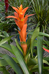 Torch Guzmania Bromeliad (Guzmania 'Torch') at Green Haven Garden Centre
