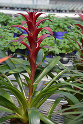 Claret Guzmania Bromeliad (Guzmania 'Claret') at Green Haven Garden Centre