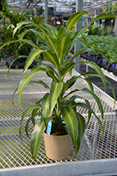 Hawaiian Sunshine Dracaena (Dracaena fragrans 'Hawaiian Sunshine') at Green Haven Garden Centre
