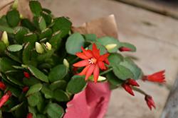 Red Easter Cactus (Hatiora gaertneri 'Red') at Green Haven Garden Centre