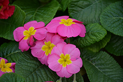 Orion Pink Primrose (Primula acaulis 'Orion Pink') at Green Haven Garden Centre