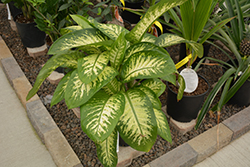 Dieffenbachia (Dieffenbachia amoena) at Green Haven Garden Centre