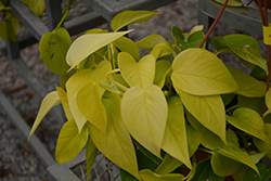 Neon Pothos (Epipremnum aureum 'Neon') at Green Haven Garden Centre