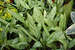 Silver King Chinese Evergreen (Aglaonema 'Silver King') at Green Haven Garden Centre