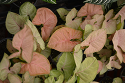 Regina Red Arrowhead Vine (Syngonium 'Regina Red') at Green Haven Garden Centre