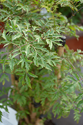 Ming Aralia (Polyscias fruticosa) at Green Haven Garden Centre