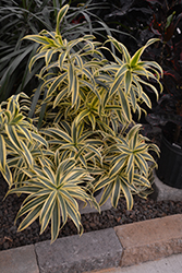 Song of India Plant (Dracaena reflexa 'Song of India') at Green Haven Garden Centre