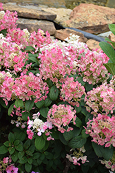 Little Quick Fire Hydrangea (Hydrangea paniculata 'SMHPLQF') at Green Haven Garden Centre