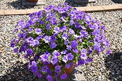 Surfinia® Heavenly Blue Petunia (Petunia 'Surfinia Heavenly Blue') at Green Haven Garden Centre