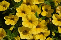 Superbells Yellow Calibrachoa (Calibrachoa 'Balcal1004') at Green Haven Garden Centre