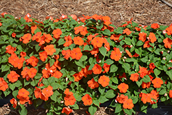 Super Elfin® Bright Orange Impatiens (Impatiens walleriana 'Super Elfin Bright Orange') at Green Haven Garden Centre
