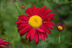 Robinson's Red Painted Daisy (Tanacetum coccineum 'Robinson's Red') at Green Haven Garden Centre