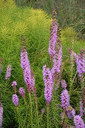 Floristan Violet Blazing Star (Liatris spicata 'Floristan Violet') at Green Haven Garden Centre