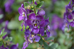 Angelface® Blue Angelonia (Angelonia angustifolia 'Angelface Blue') at Green Haven Garden Centre