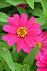 Zahara XL Pink Zinnia (Zinnia 'Zahara XL Pink') at Green Haven Garden Centre