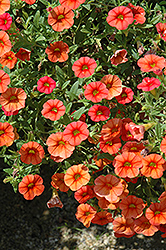 Superbells® Dreamsicle Calibrachoa (Calibrachoa 'Superbells Dreamsicle') at Green Haven Garden Centre