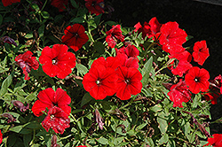 Surfinia® Deep Red Petunia (Petunia 'Surfinia Deep Red') at Green Haven Garden Centre