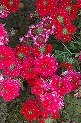 Lanai® Twister™ Red Verbena (Verbena 'Lanai Twister Red') at Green Haven Garden Centre