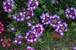 Lanai® Twister™ Purple Verbena (Verbena 'Lanai Twister Purple') at Green Haven Garden Centre