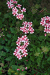 Lanai® Candy Cane Verbena (Verbena 'Lanai Candy Cane') at Green Haven Garden Centre