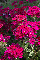 Superbena® Royale Plum Wine Verbena (Verbena 'Superbena Royale Plum Wine') at Green Haven Garden Centre