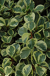 Variegated Baby Rubber Plant (Peperomia obtusifolia 'Variegata') at Green Haven Garden Centre