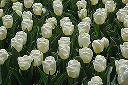 Calgary Tulip (Tulipa 'Calgary') at Green Haven Garden Centre