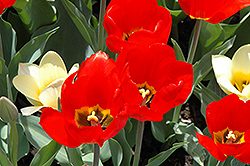 Big Red Tulip (Tulipa 'Big Red') at Green Haven Garden Centre