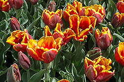 Bright Parrot Tulip (Tulipa 'Bright Parrot') at Green Haven Garden Centre