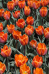Princess Irene Tulip (Tulipa 'Princess Irene') at Green Haven Garden Centre