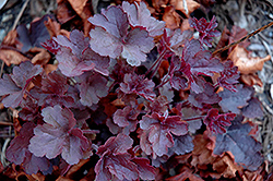 Coco Coral Bells (Heuchera 'Coco') at Green Haven Garden Centre
