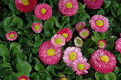 Speedstar Pink English Daisy (Bellis perennis 'Speedstar Pink') at Green Haven Garden Centre