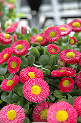 Speedstar Red English Daisy (Bellis perennis 'Speedstar Red') at Green Haven Garden Centre