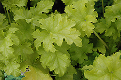 Lime Ruffles™ Foamy Bells (Heucherella 'Lime Ruffles') at Green Haven Garden Centre
