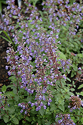 Purrsian Blue Catmint (Nepeta x faassenii 'Purrsian Blue') at Green Haven Garden Centre