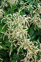 Misty Lace Goatsbeard (Aruncus 'Misty Lace') at Green Haven Garden Centre