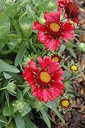 Burgundy Blanket Flower (Gaillardia x grandiflora 'Burgundy') at Green Haven Garden Centre