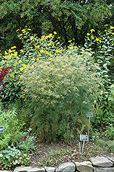 Fennel (Foeniculum vulgare) at Green Haven Garden Centre