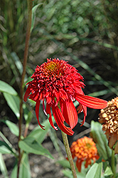 Cone-fections™ Hot Papaya Coneflower (Echinacea 'Hot Papaya') at Green Haven Garden Centre