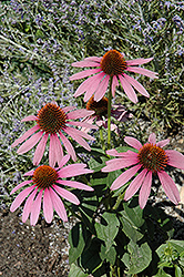 Prairie Splendor Coneflower (Echinacea purpurea 'Prairie Splendor') at Green Haven Garden Centre