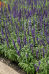 Victoria Blue Salvia (Salvia farinacea 'Victoria Blue') at Green Haven Garden Centre