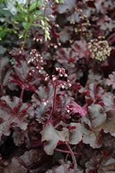 Melting Fire Coral Bells (Heuchera 'Melting Fire') at Green Haven Garden Centre