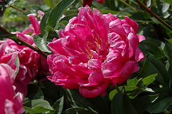 Double Red Peony (Paeonia 'Double Red') at Green Haven Garden Centre