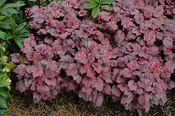 Grape Soda Coral Bells (Heuchera 'Grape Soda') at Green Haven Garden Centre