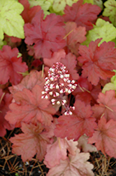 Fire Alarm Coral Bells (Heuchera 'Fire Alarm') at Green Haven Garden Centre