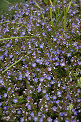 Crystal River Speedwell (Veronica 'Reavis') at Green Haven Garden Centre
