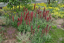 Red Feathers (Echium amoenum) at Green Haven Garden Centre